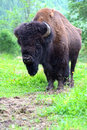 Bison in their natural habitat Stock Photography