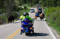 Bison in traffic stopped custer national park south dakota usa by and calf crossing the street Royalty Free Stock Photography
