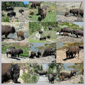 Bison in yellowstone national park different views of wyoming collage Royalty Free Stock Photography