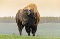 Bison in Yellowstone Royalty Free Stock Photo