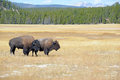 Bison at Yellowstone National Park, Wyoming Royalty Free Stock Photo