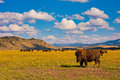 Bisons in yellowstone national park usa Royalty Free Stock Image