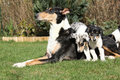 Bitch of collie smooth with puppies in the garden its lying nice Stock Image