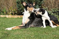 Bitch of collie smooth with puppies in the garden its lying nice Royalty Free Stock Image