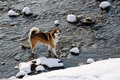 Bitch west siberian laika walking in winter along the river morava litovel Royalty Free Stock Images