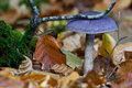 Bitter bigfoot webcap cortinarius sodagnitus in autumn forest Royalty Free Stock Photography