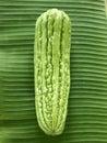 Bitter cucumber Royalty Free Stock Photo