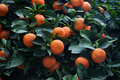 Bitter orange tree Citrus aurantium Royalty Free Stock Photo