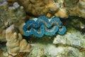 Bivalve mollusk maxima clam tridacna maxima underwater marine life pacific ocean french polynesia Stock Images