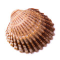 Bivalve seashell isolated on white background top view Stock Images