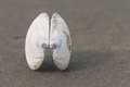 Bivalve shell on black sand detail of Royalty Free Stock Images