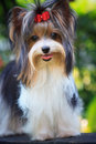 Biver yorkshire terrier dog in home Royalty Free Stock Images