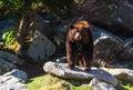 Blåa ridge mountain black bear Royaltyfria Bilder
