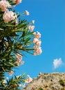 Blühender Oleander Stockfotos