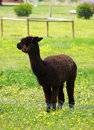 Black alpaca pasture animal husbandry australia livestock Royalty Free Stock Images