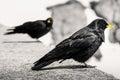 Black Alpine bird Royalty Free Stock Photo