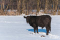 Black Angus bull standing in a snowy meadow Royalty Free Stock Image