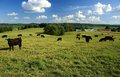 Black angus cattle in pasture Royalty Free Stock Photo
