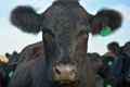 Black Angus Cow with Green Ear Tag in a Pasture Royalty Free Stock Photo