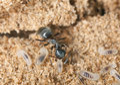 Black ant (Lasius niger) resquing larva Royalty Free Stock Image