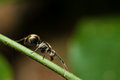 Black ant walking on a branch green Royalty Free Stock Photos