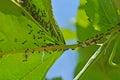 Black ants Royalty Free Stock Photo