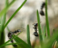 Black ants invasion conquering garden Royalty Free Stock Photo