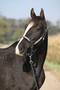 Black appaloosa mare with western halter portrait of Stock Photography