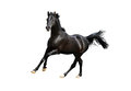 Black arab horse isolated on white the Stock Image