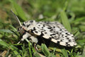 Black arches moth lymantria monacha on grass Royalty Free Stock Photos