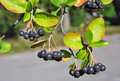 Black Ashberry (Aronia Melanoc...
