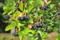 Black Ashberry (Aronia Melanoc...