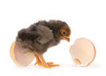 Black baby chicken Stock Images