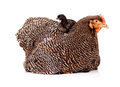 Black baby chicken sitting on top of mother hen Royalty Free Stock Photography