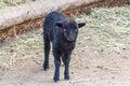 Black baby lamb Royalty Free Stock Photo