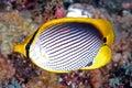 Black-backed butterflyfish (Chaetodon melannotus) Royalty Free Stock Photo