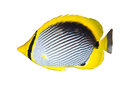 Black-backed butterflyfish Royalty Free Stock Photo
