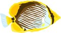Black-backed butterflyfish (Chaetodon melannotus) Royalty Free Stock Photo