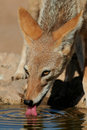 Black-backed Jackal Royalty Free Stock Images