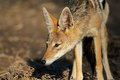 Black backed jackal canis mesomelas kalahari desert south africa Royalty Free Stock Photo