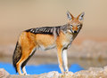 Black backed jackal canis mesomelas kalahari desert south africa Stock Photos