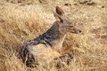Black backed jackal canis mesomelas oe silver in the african savanna Stock Photos