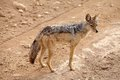 Black backed jackal canis mesomelas oe silver in the african savanna Stock Photography