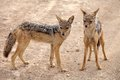 Black backed jackal (Canis mesomelas) Royalty Free Stock Photo