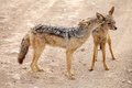 Black backed jackal canis mesomelas oe silver male and female in the african savanna the male is grooming the female Stock Image