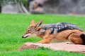 A black-backed Jackal (Canis mesomelas). Royalty Free Stock Photo