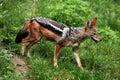 Black-backed jackal (Canis mesomelas). Royalty Free Stock Photo