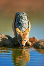 Black backed jackal drinking water canis mesomelas kalahari south africa Stock Photography