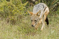 Black backed jackal hunting Royalty Free Stock Images