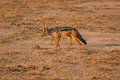 Black-backed Jackal - Safary Kenya Royalty Free Stock Photo